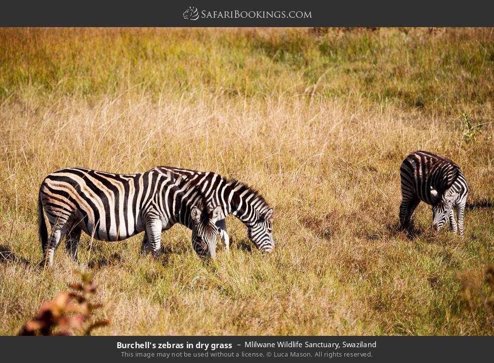 Burchell's zebras in dry grass in Mlilwane Wildlife Sanctuary, Swaziland