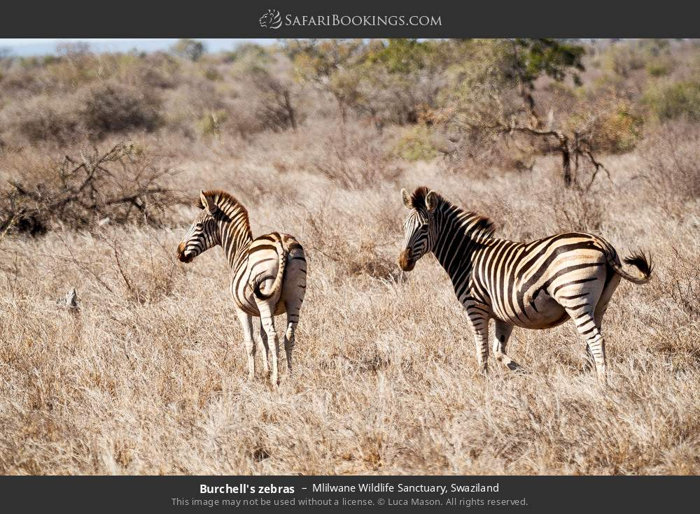 Burchell's zebras in Mlilwane Wildlife Sanctuary, Swaziland