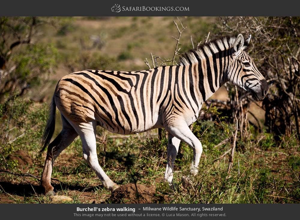 Burchell's zebra walking in Mlilwane Wildlife Sanctuary, Swaziland