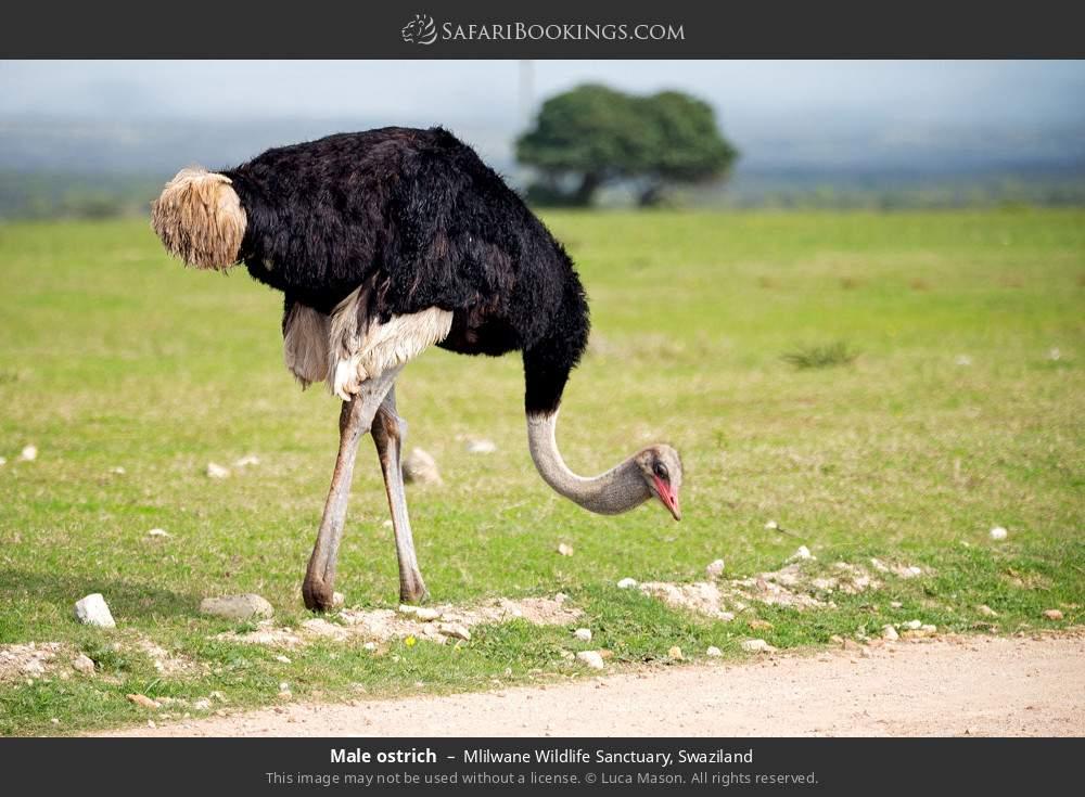 Male ostrich in Mlilwane Wildlife Sanctuary, Swaziland