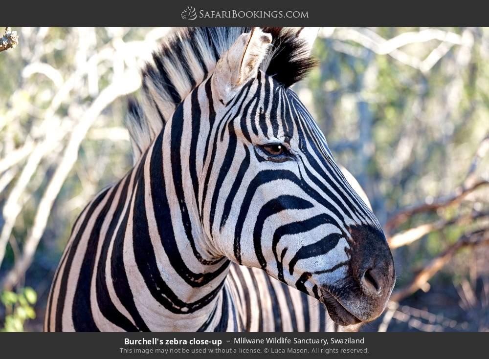 Burchell's zebra close-up in Mlilwane Wildlife Sanctuary, Swaziland