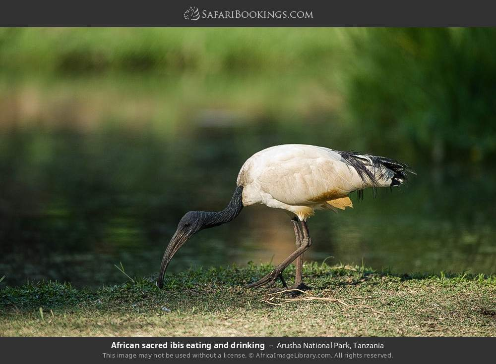 African sacred ibis eating and drinking in Arusha National Park, Tanzania
