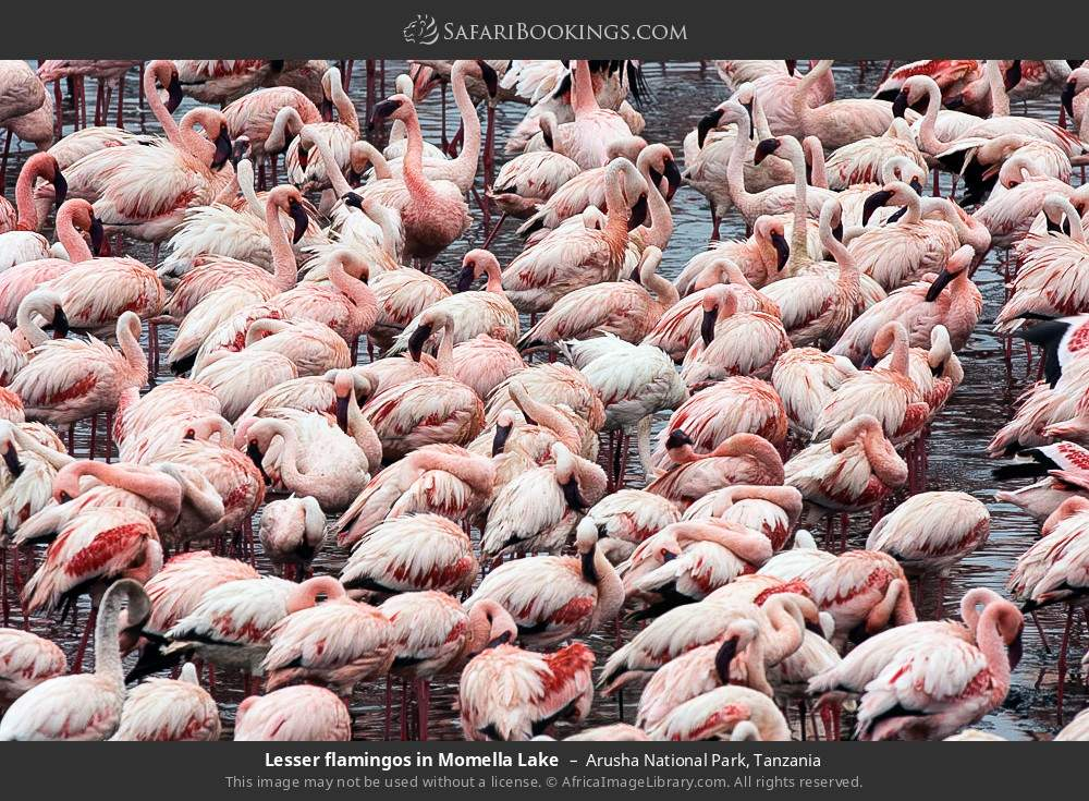 Lesser flamingos in Momella Lake in Arusha National Park, Tanzania