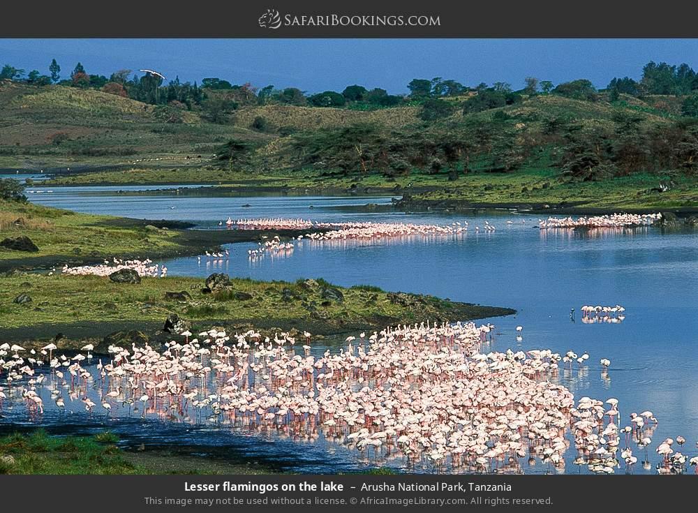 Lesser flamingos on the lake in Arusha National Park, Tanzania