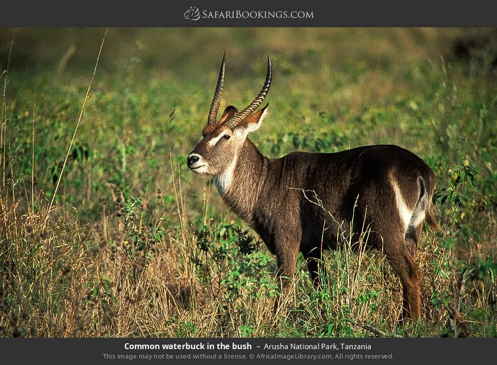 Common waterbuck in the bush in Arusha National Park, Tanzania