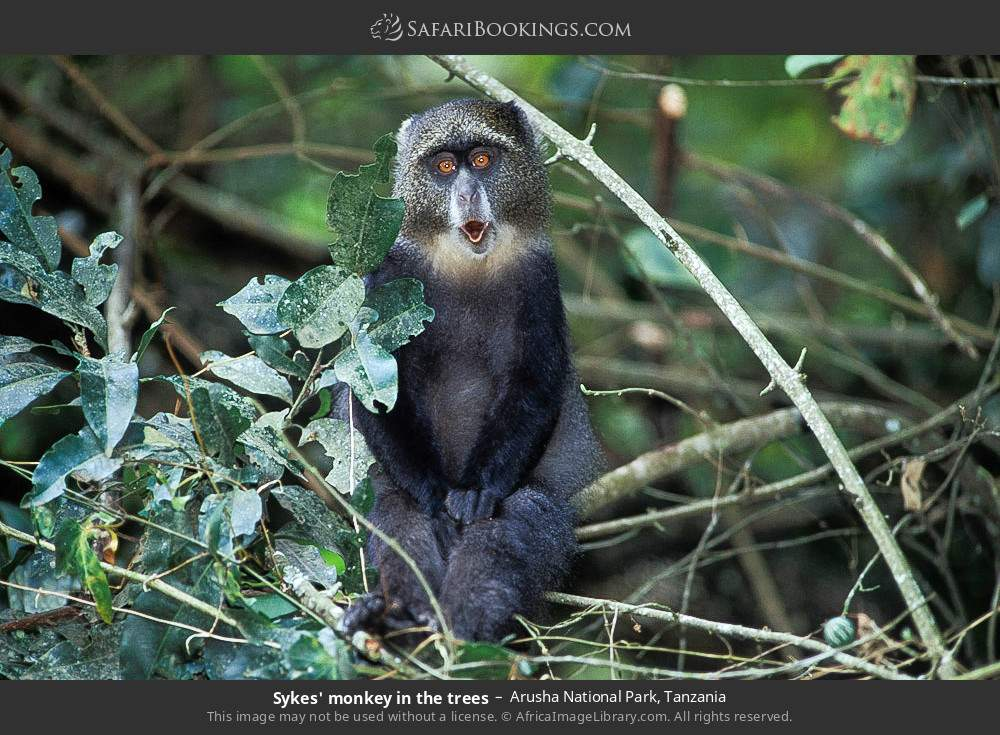 Sykes monkey in the trees in Arusha National Park, Tanzania