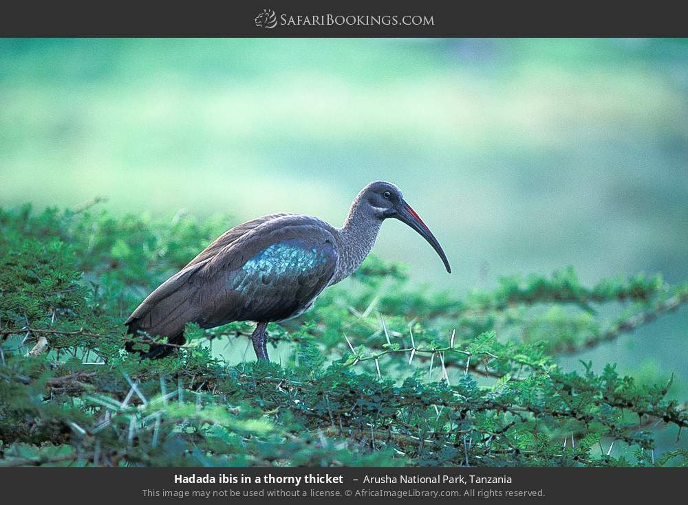 Hadeda ibis in a thorny thicket  in Arusha National Park, Tanzania