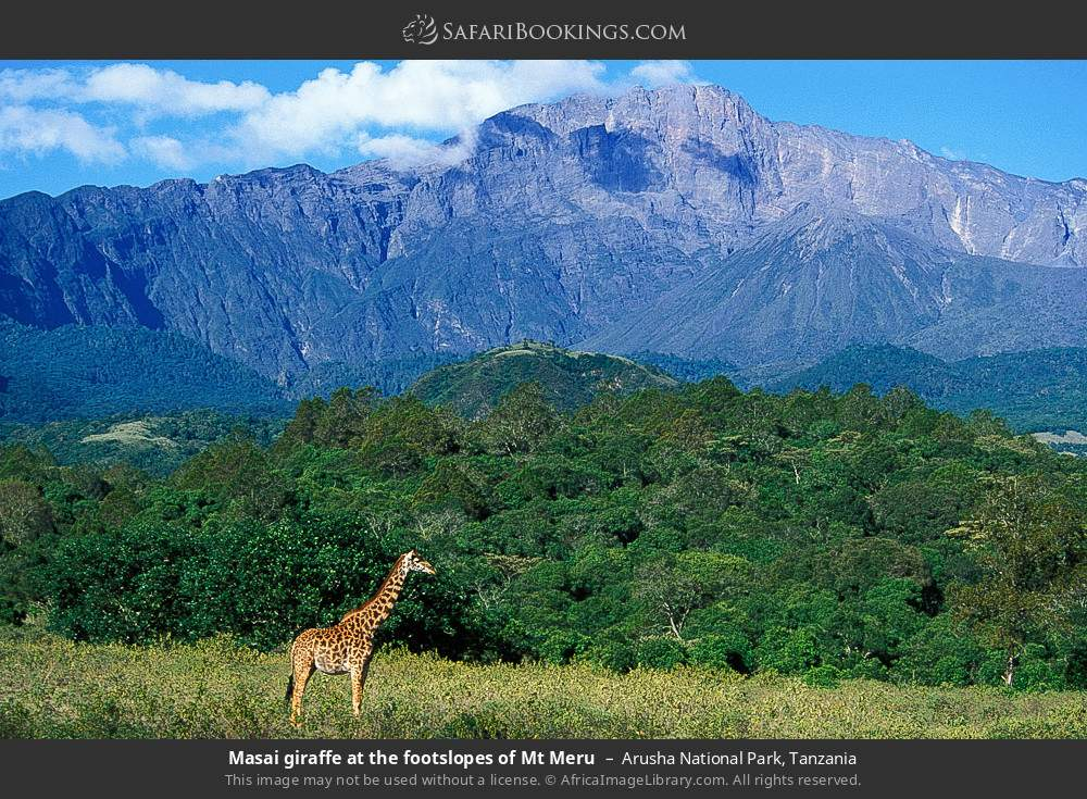 Masai giraffe at the foot slopes of Mount Meru in Arusha National Park, Tanzania