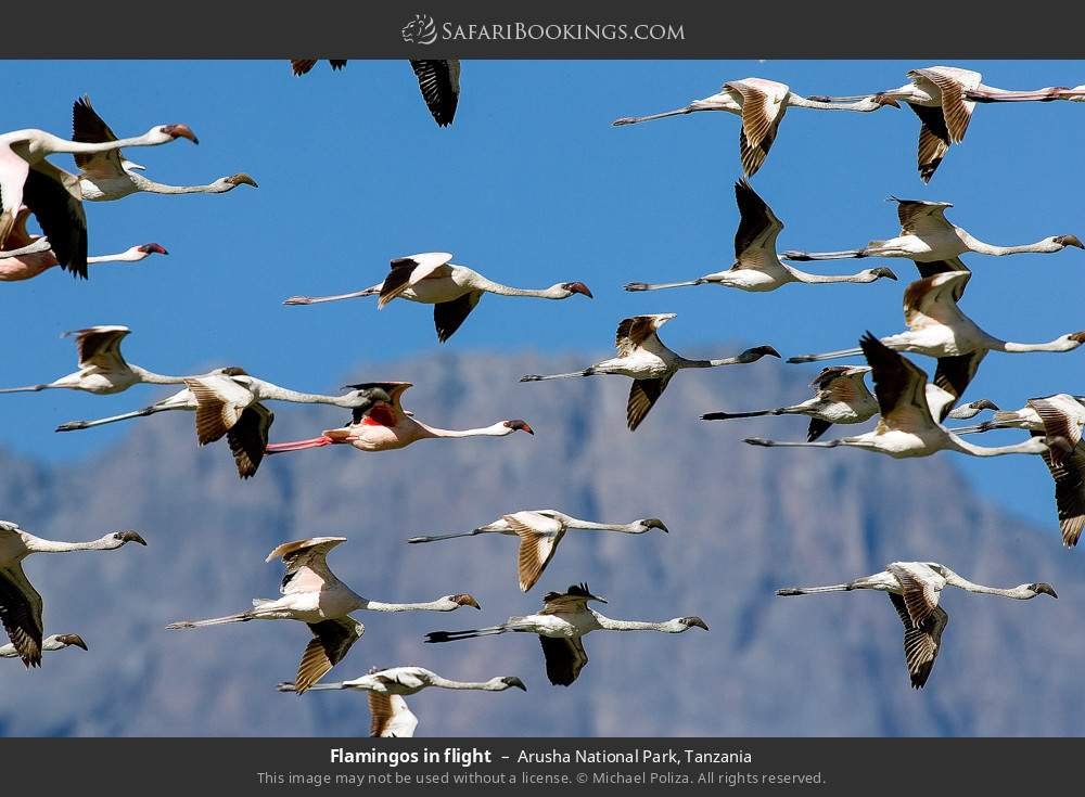 Flamingos in flight in Arusha National Park, Tanzania