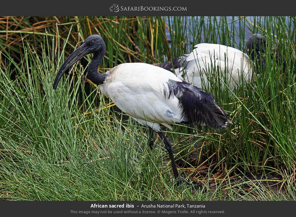 African sacred ibis in Arusha National Park, Tanzania