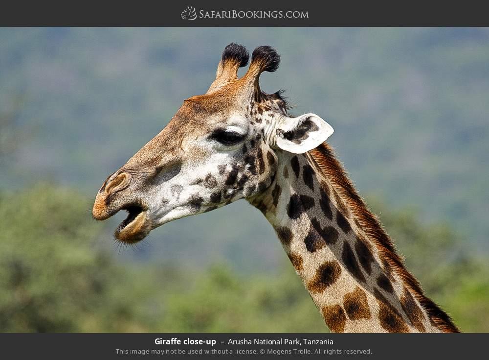 Giraffe close-up in Arusha National Park, Tanzania