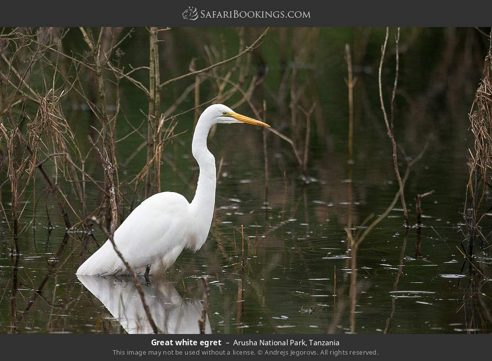 Great white egret in Arusha National Park, Tanzania