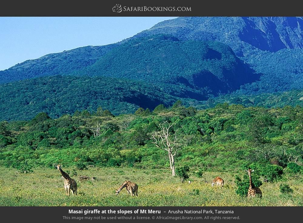 Maasai giraffe at the slopes of Mount Meru in Arusha National Park, Tanzania