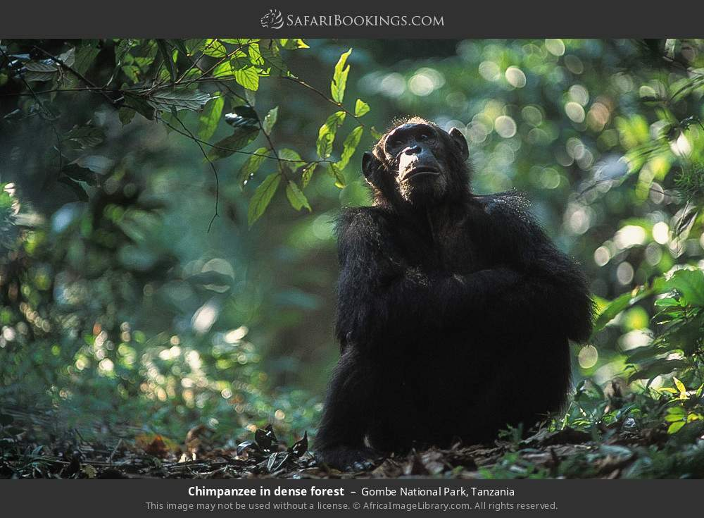 Chimpanzee in dense forest in Gombe National Park, Tanzania