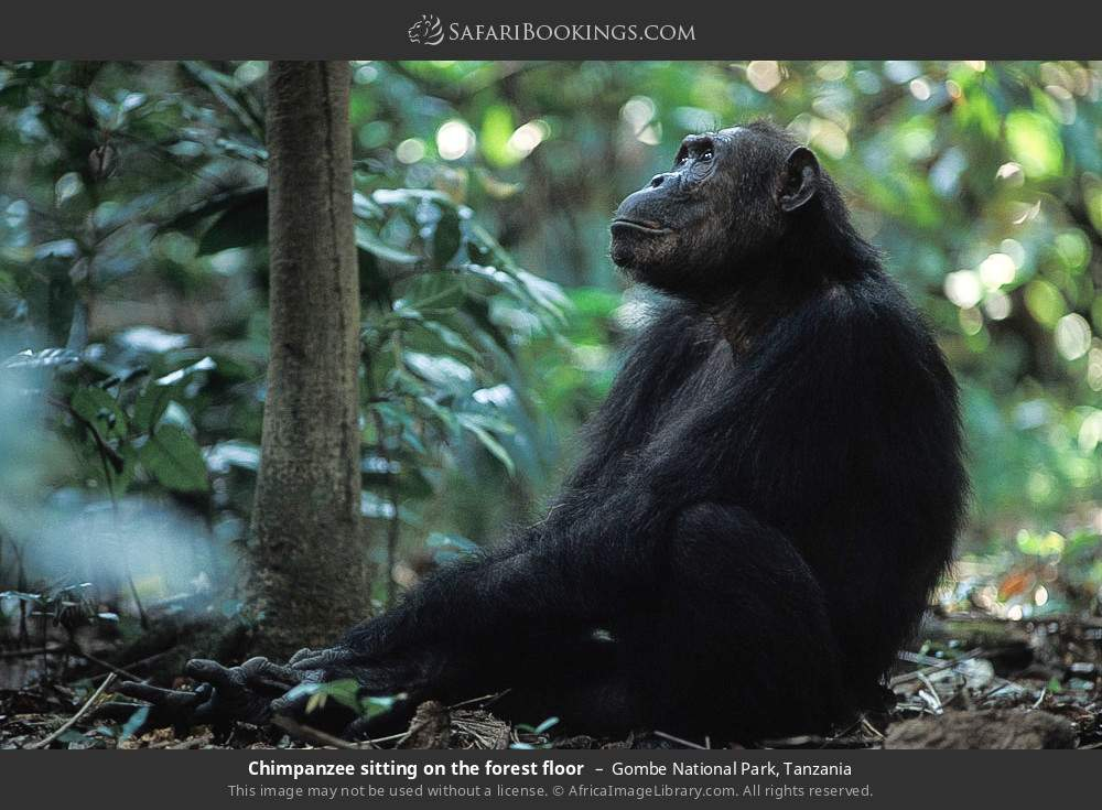 Chimpanzee sitting on the forest floor in Gombe National Park, Tanzania