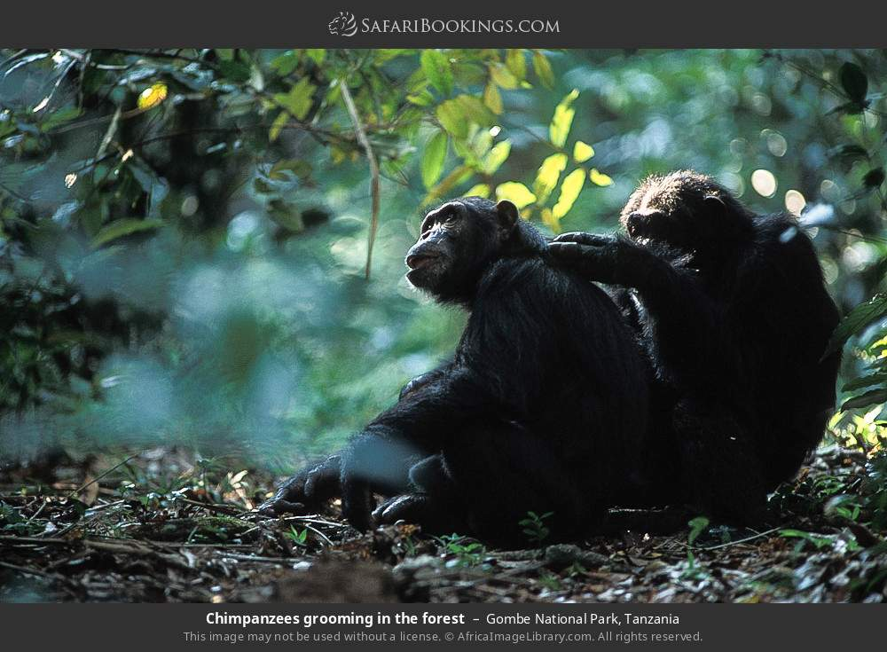 Chimpanzees grooming in the forest in Gombe National Park, Tanzania