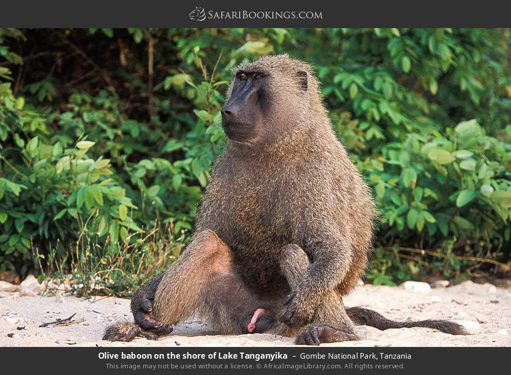 Olive baboon on the shore of Lake Tanganyika in Gombe National Park, Tanzania
