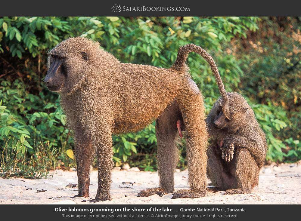 Olive baboons grooming on the shore of the lake in Gombe National Park, Tanzania