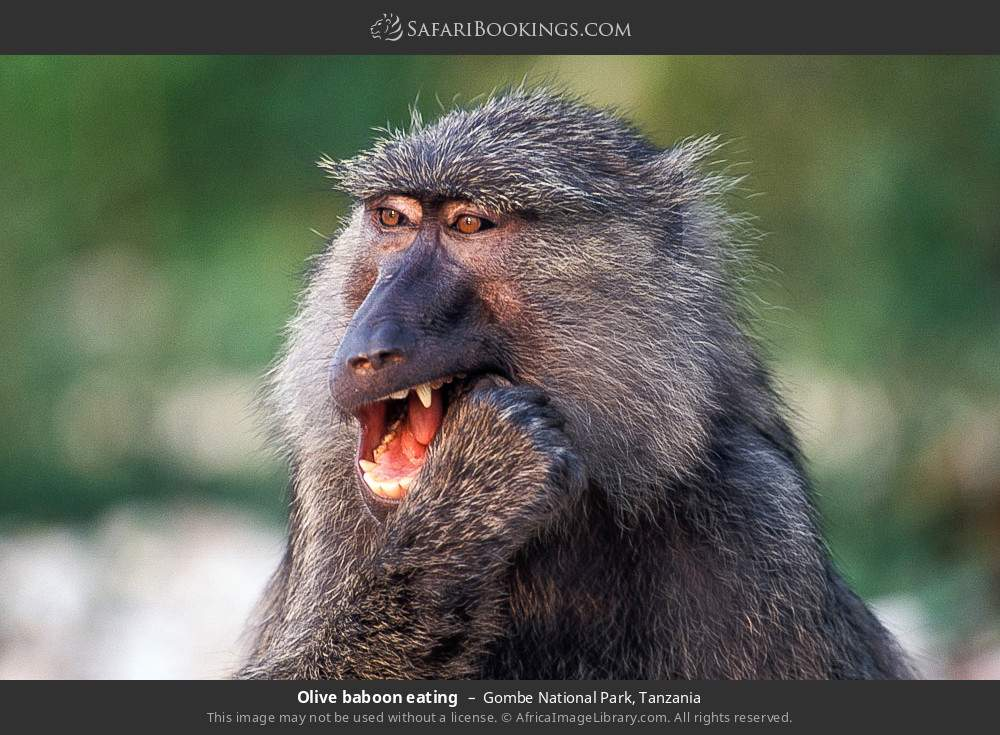 Olive baboon eating in Gombe National Park, Tanzania