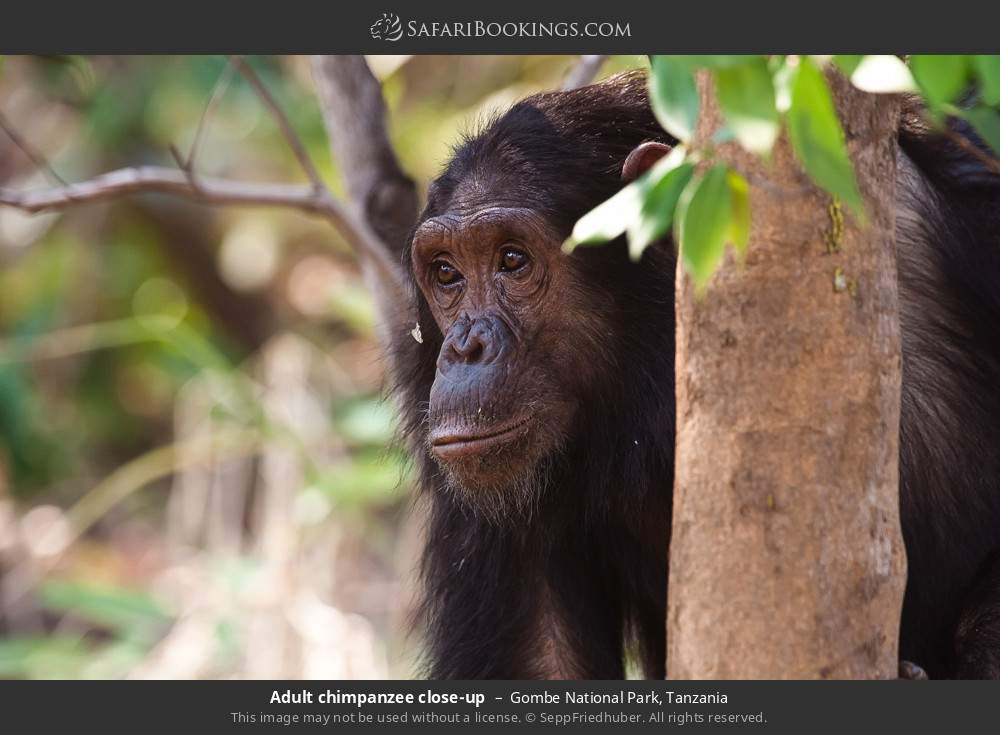 Adult chimpanzee close-up in Gombe National Park, Tanzania