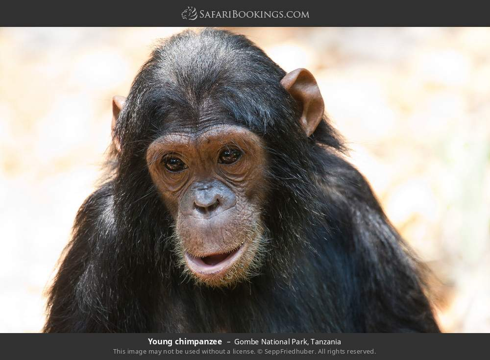Young chimpanzee in Gombe National Park, Tanzania