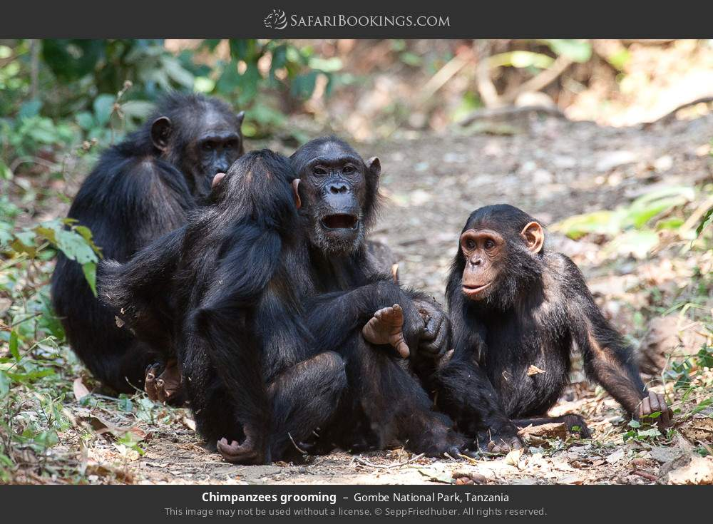 Chimpanzees grooming in Gombe National Park, Tanzania
