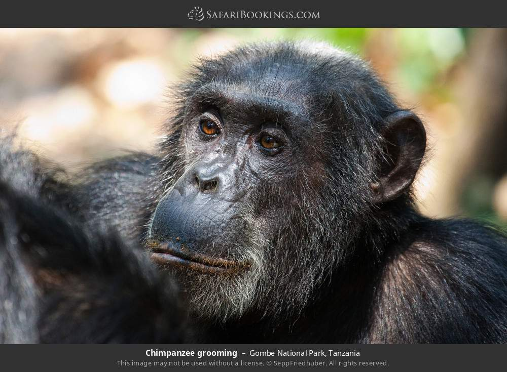 Chimpanzee grooming in Gombe National Park, Tanzania