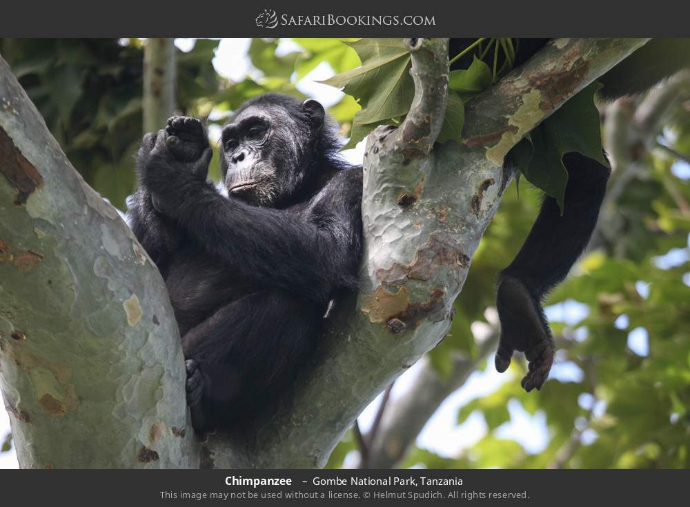 Chimpanzee  in Gombe National Park, Tanzania