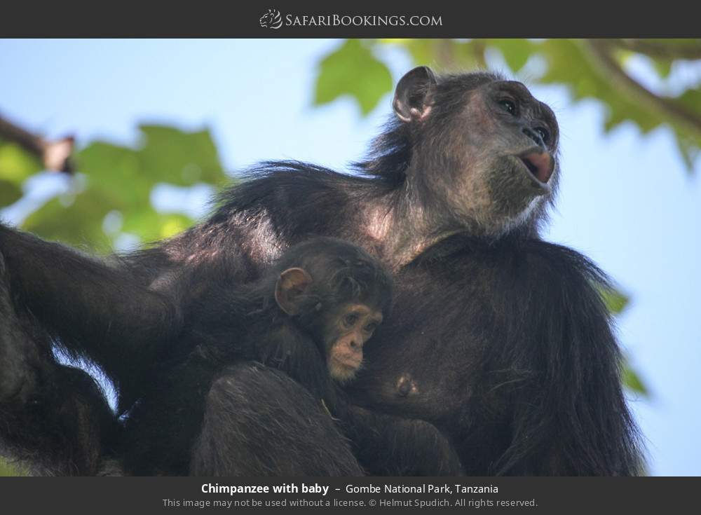 Chimpanzee with baby in Gombe National Park, Tanzania