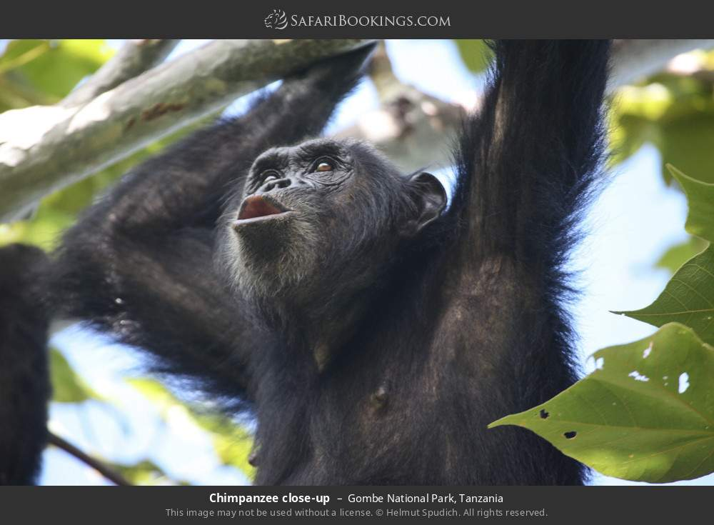 Chimpanzee close-up in Gombe National Park, Tanzania
