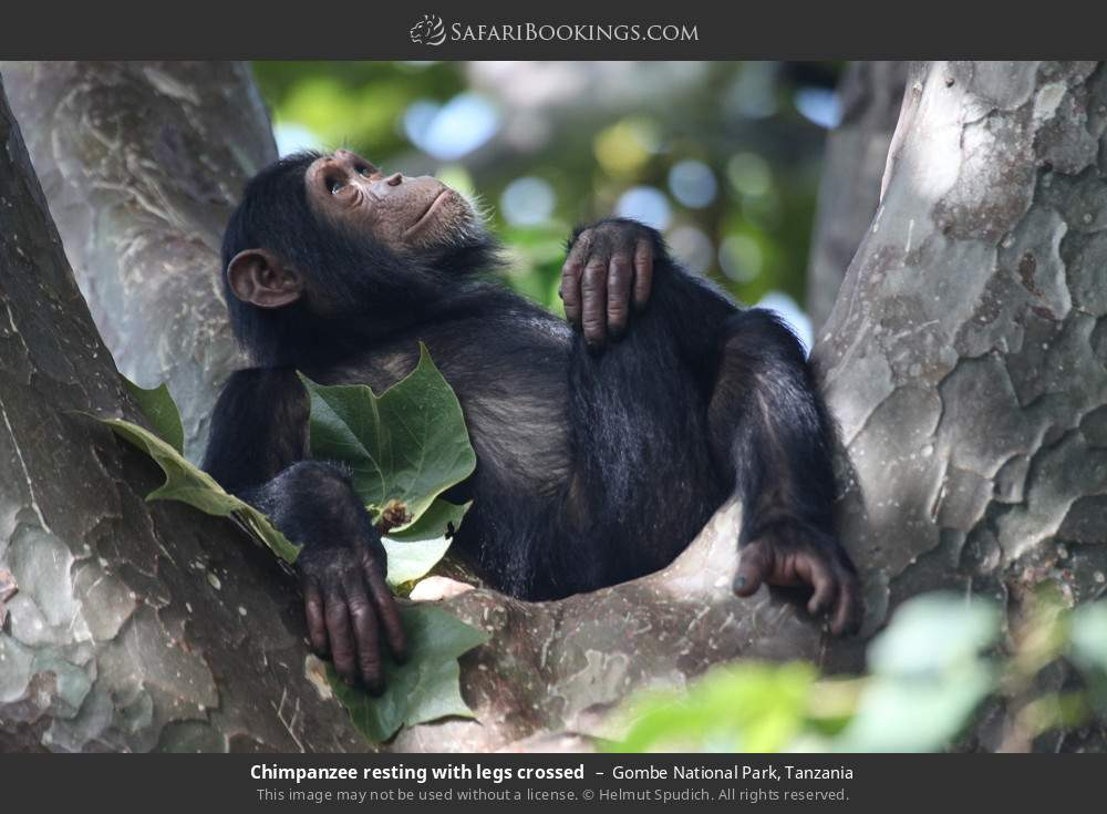 Chimpanzee resting with legs crossed in Gombe National Park, Tanzania