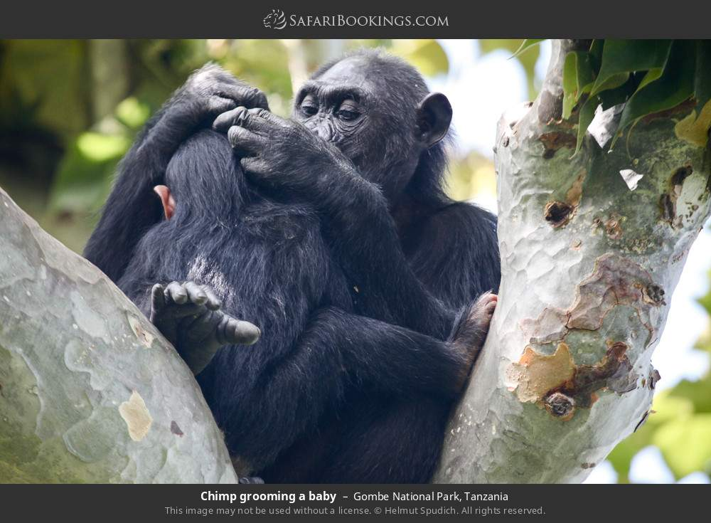 Chimp grooming a baby in Gombe National Park, Tanzania