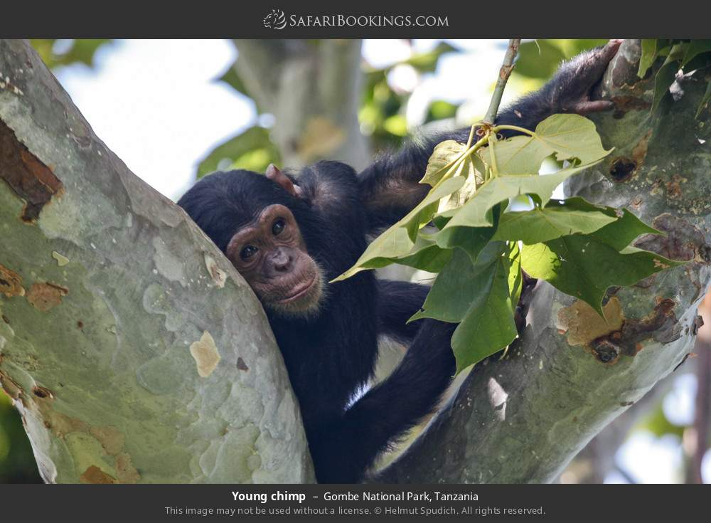 Young chimp in Gombe National Park, Tanzania