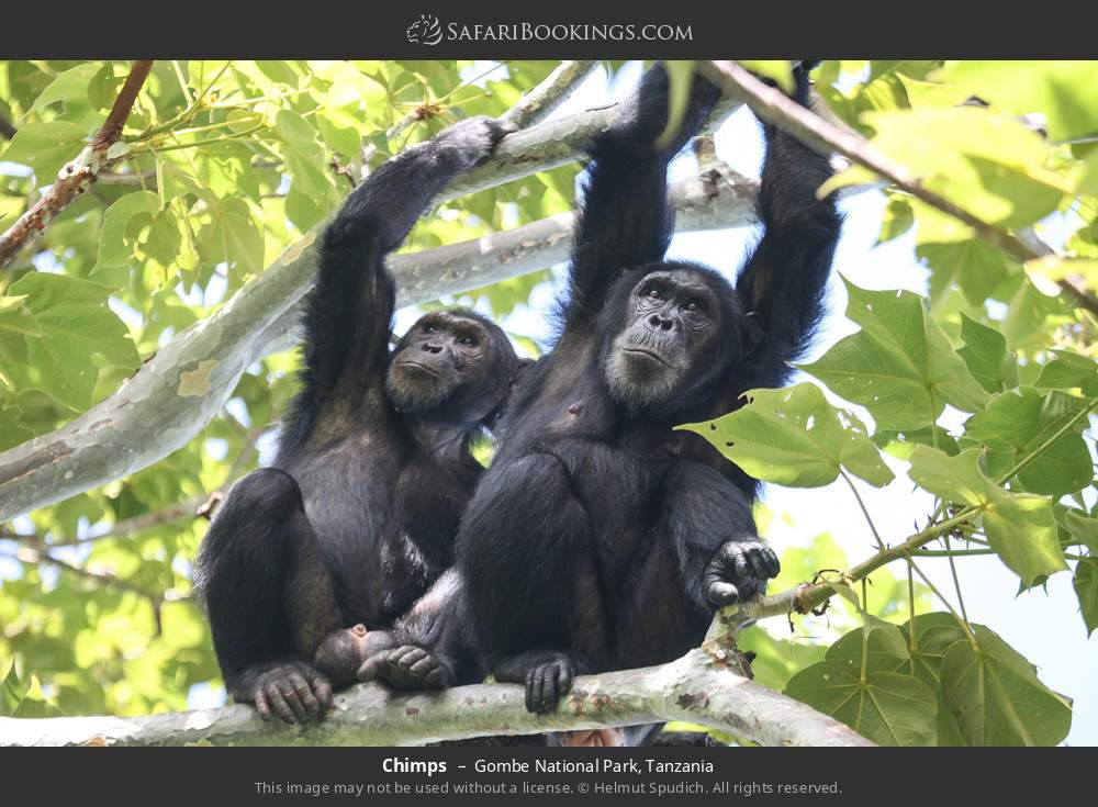 Chimps in Gombe National Park, Tanzania