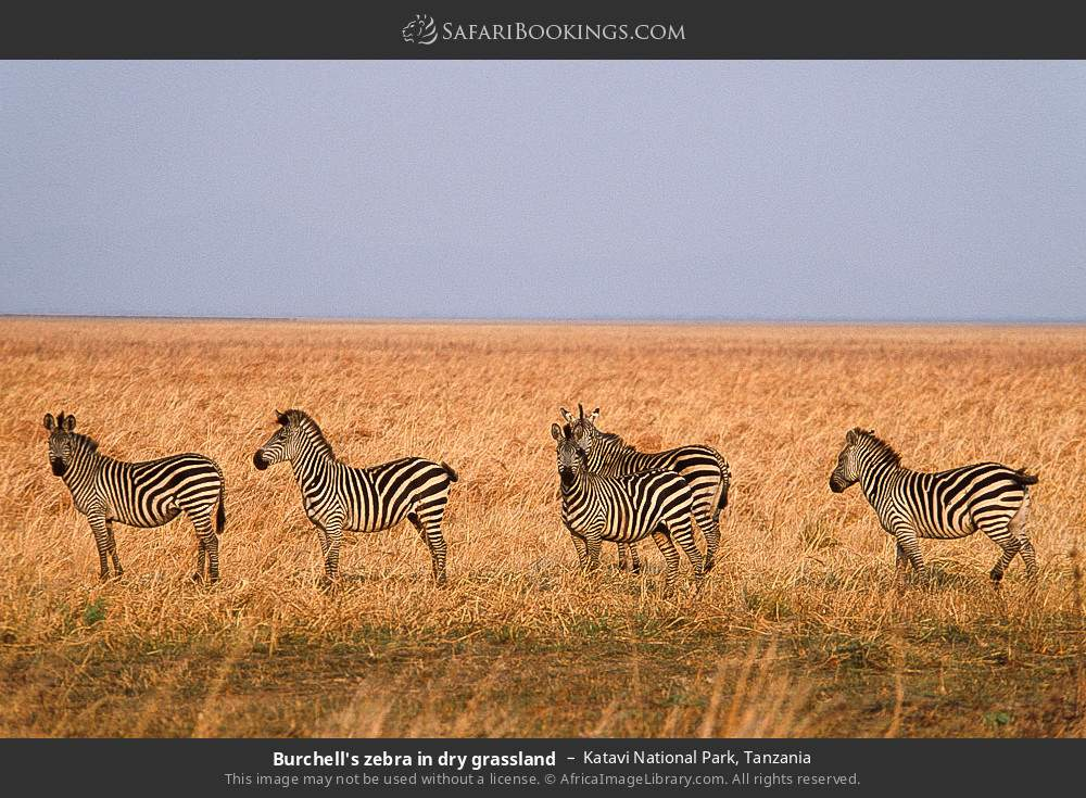 Burchell's zebra in dry grassland in Katavi National Park, Tanzania