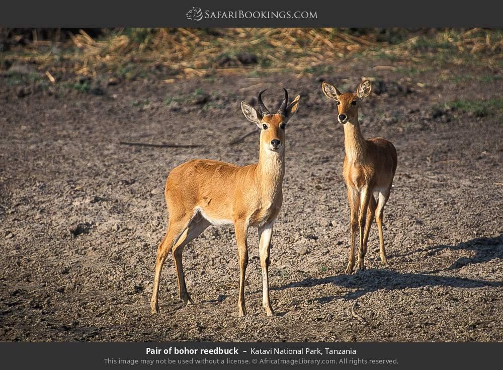 Pair of Bohor Reedbuck in Katavi National Park, Tanzania