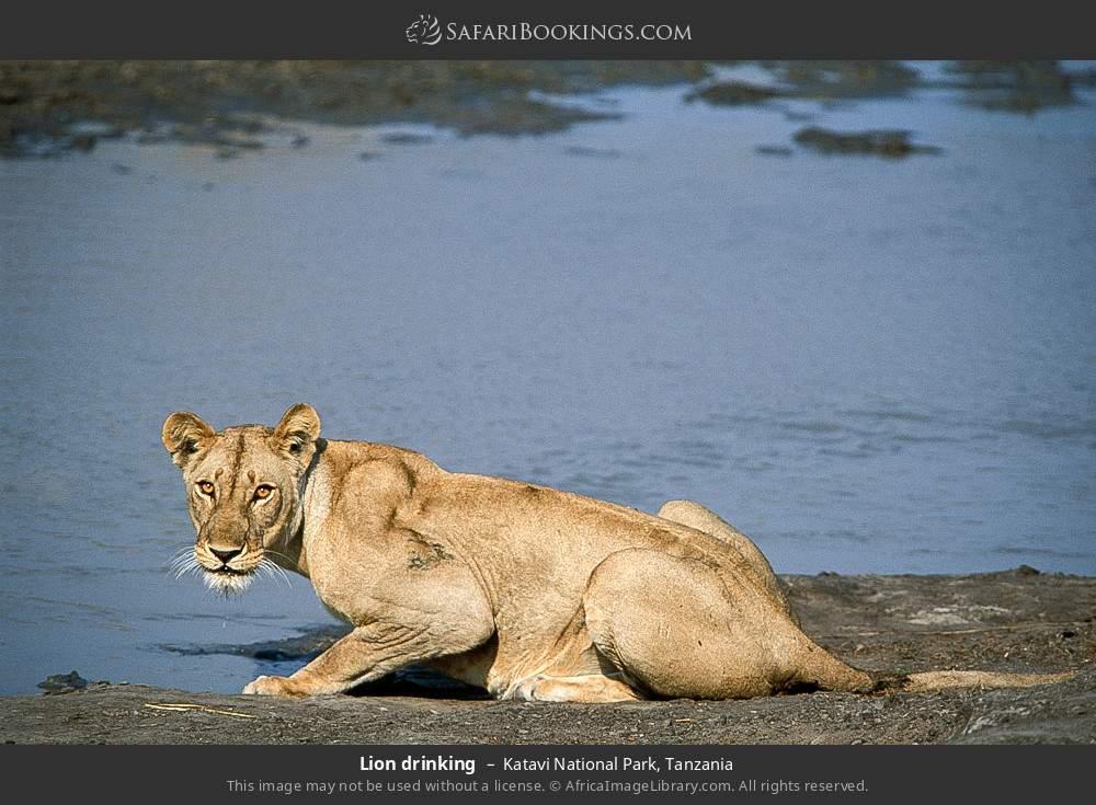 Lion drinking in Katavi National Park, Tanzania