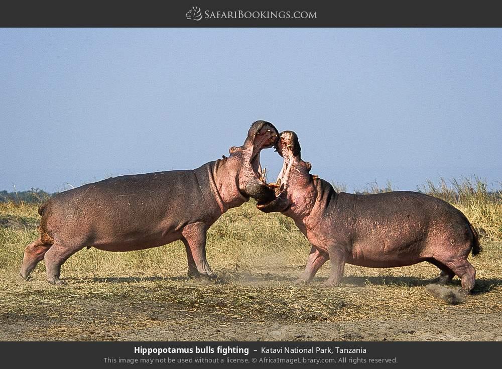 Hippopotamus bulls fighting in Katavi National Park, Tanzania
