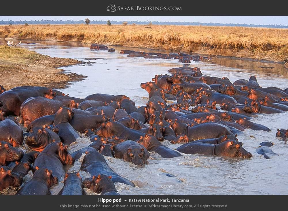 Hippo pod in Katavi National Park, Tanzania