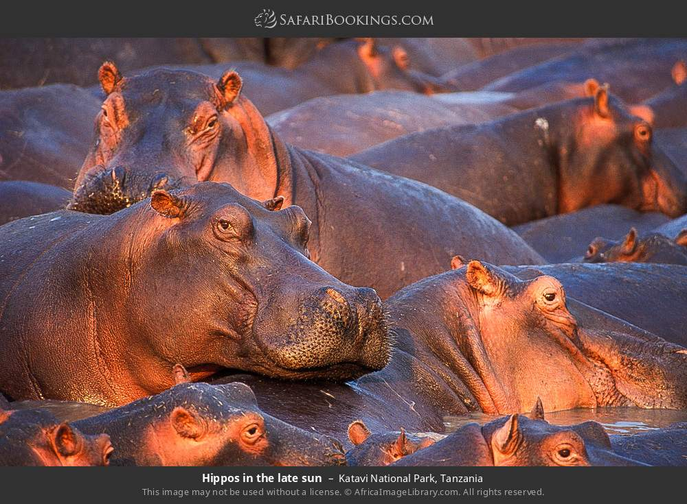 Hippos in the late sun in Katavi National Park, Tanzania