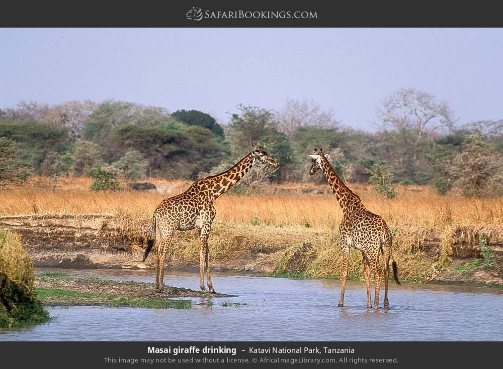 Masai giraffe drinking in Katavi National Park, Tanzania