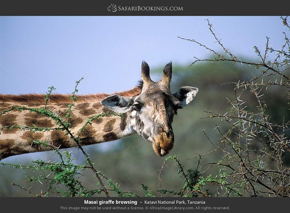 Masai giraffe browsing in Katavi National Park, Tanzania