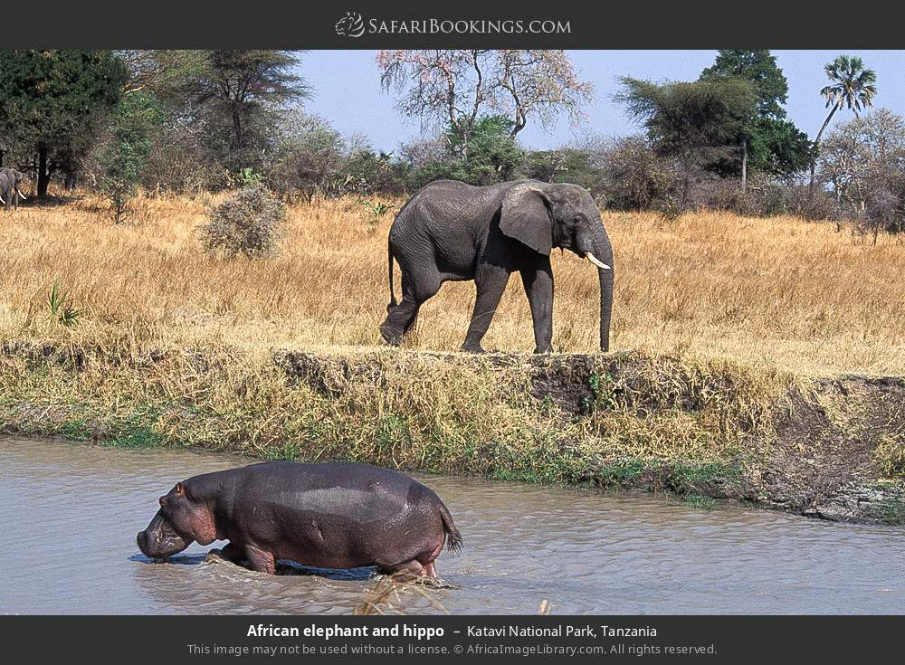 African elephant and hippo in Katavi National Park, Tanzania