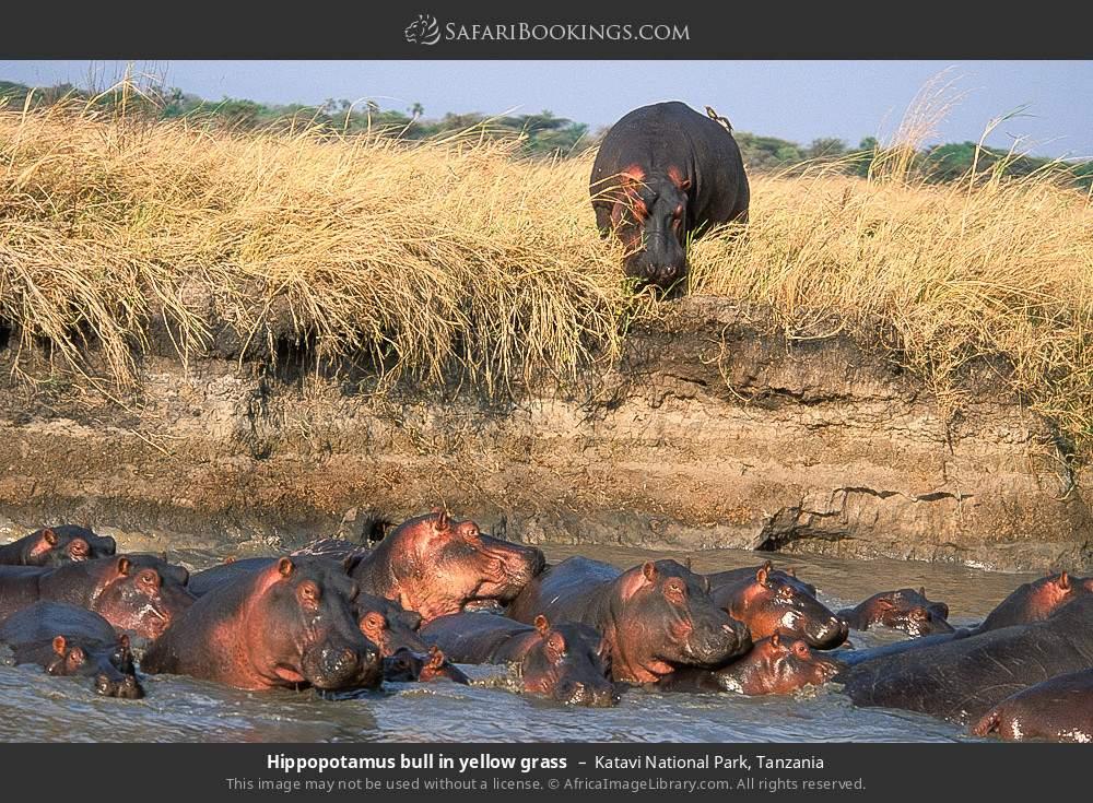 Hippopotamus bull in yellow grass in Katavi National Park, Tanzania