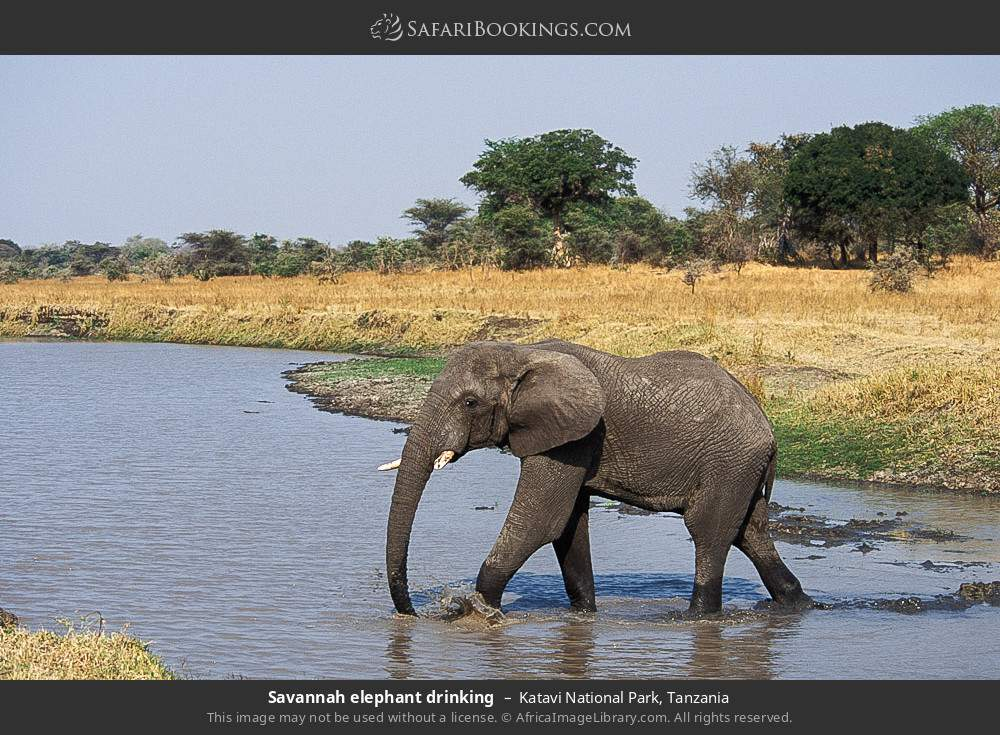 Savanna elephant drinking in Katavi National Park, Tanzania