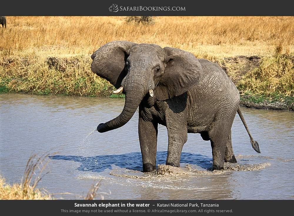 Savanna elephant in the water in Katavi National Park, Tanzania