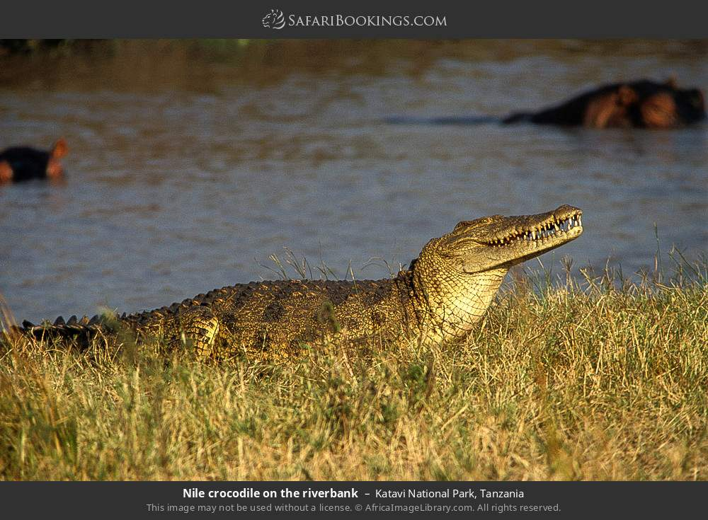 Nile crocodile on the river bank in Katavi National Park, Tanzania