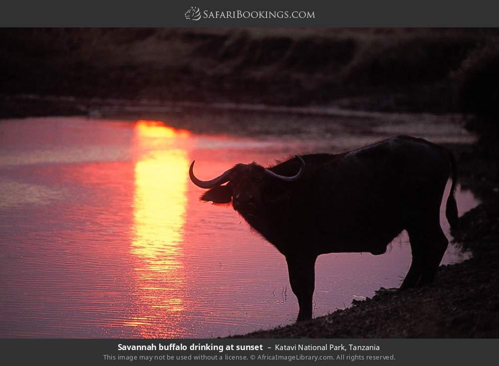 Savannah buffalo drinking at sunset in Katavi National Park, Tanzania