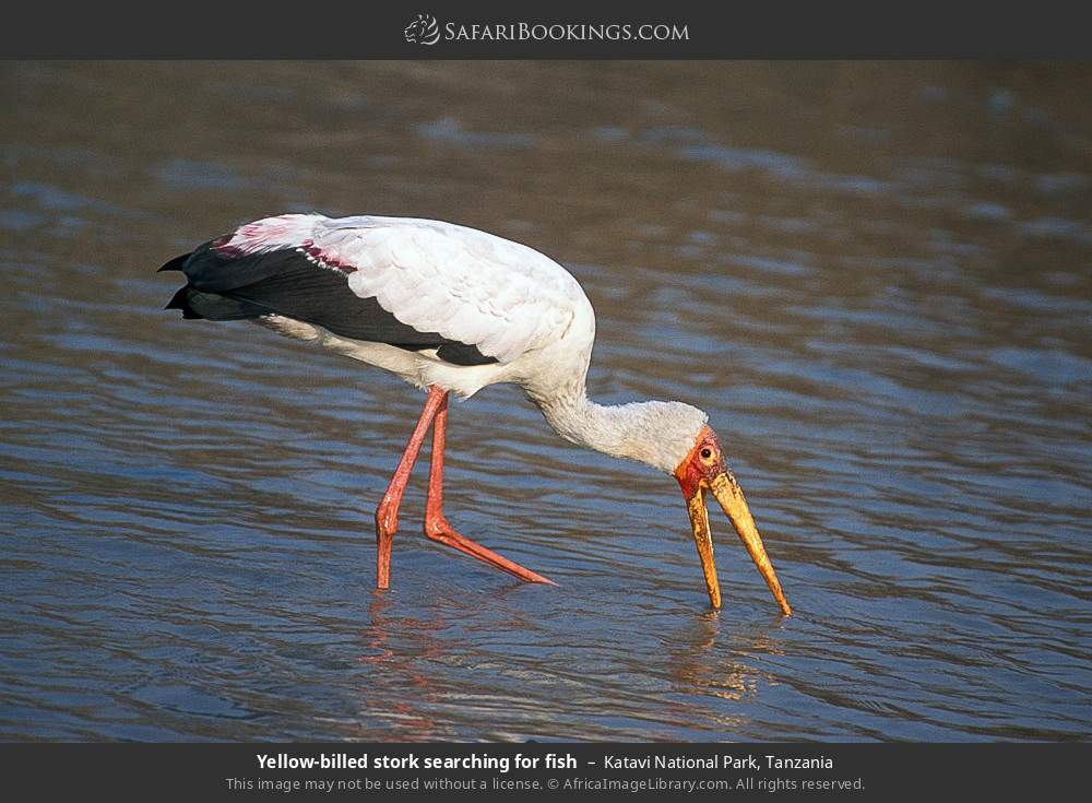 Yellow-billed stork searching for fish in Katavi National Park, Tanzania
