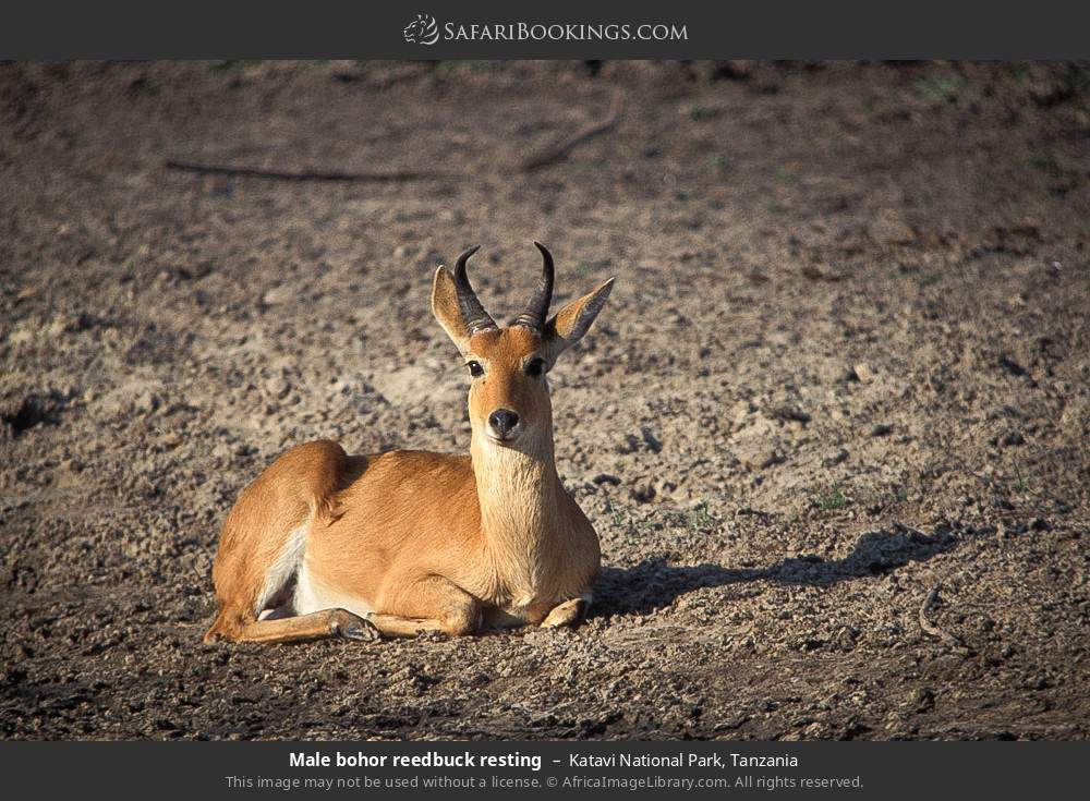 Male Bohor Reedbuck resting in Katavi National Park, Tanzania
